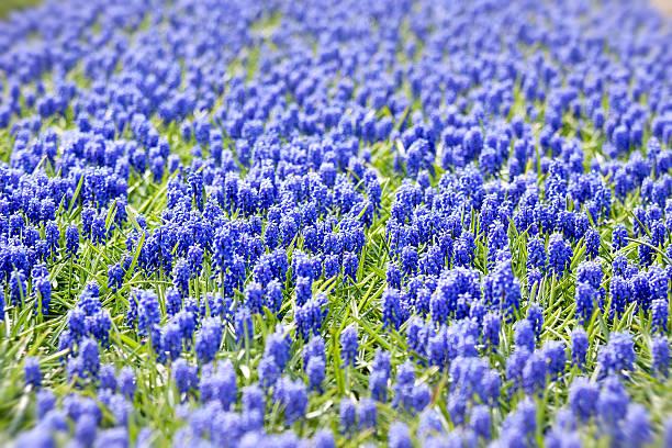 A bed of blue common hyacinths:スマホ壁紙(壁紙.com)