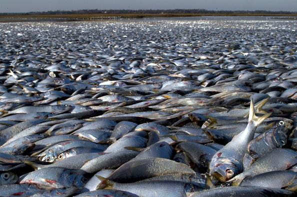 Fish「Thousands Of Dead Fish Found On North Carolina Beach」:写真・画像(10)[壁紙.com]