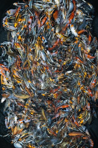 Carp「Thousands of Koi Carp in a feeding frenzy, Oxfordshire, England, United Kingdom」:スマホ壁紙(7)