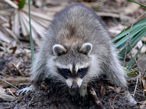 Raccoon「Racoon at Green Cay Nature Center and Wetlands」:スマホ壁紙(10)