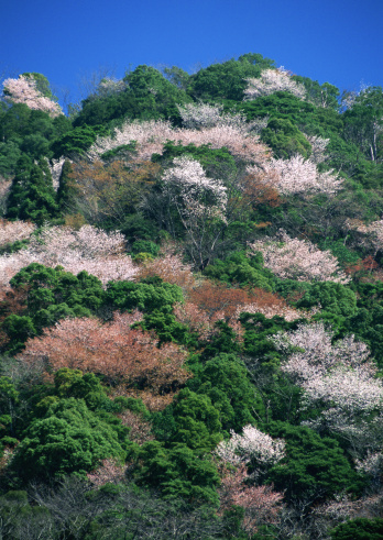 Cherry Blossom「Forest and Cherry Tree」:スマホ壁紙(3)
