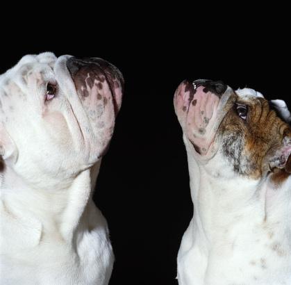 Ugliness「Two English bulldogs looking upwards, against black background」:スマホ壁紙(13)