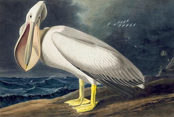 Hand Colored「American White Pelican」:写真・画像(2)[壁紙.com]