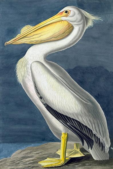 Beak「American White Pelican」:写真・画像(11)[壁紙.com]