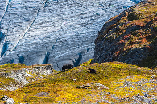 Exit Glacier「American black bear sow and cub (Ursus americanus) on a hillside with Exit Glacier in the background on a sunny fall day in Kenai Fjords National Park, South-central Alaska」:スマホ壁紙(9)