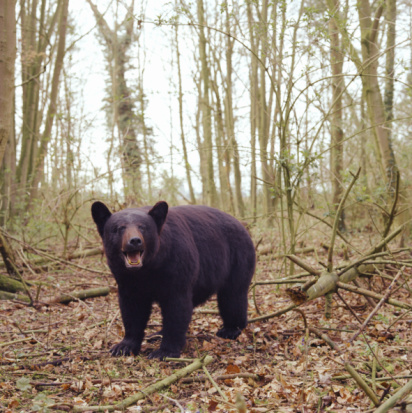 2002「American black bear (Ursus americanus) in forest」:スマホ壁紙(2)