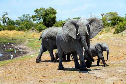 象「ウォーターズ エッジでアフリカ象の家族」:スマホ壁紙(16)