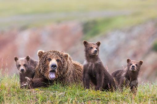 Bear Cub「Family of Alaska Peninsula brown bears (Ursus arctos horribilis) in Katmai National Park and Preserve, Alaska, USA」:スマホ壁紙(7)