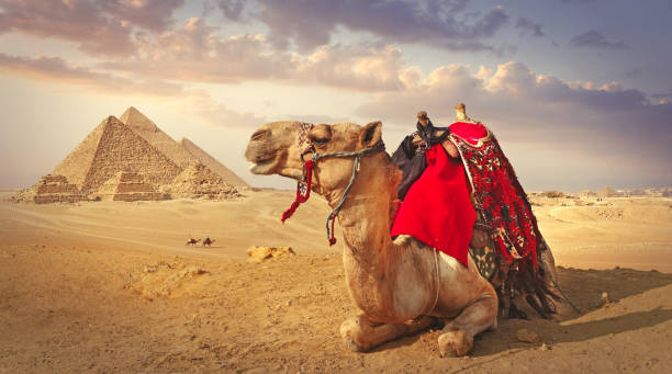 Camel and the pyramids in Giza:スマホ壁紙(壁紙.com)