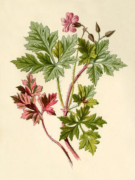 Wildflower「Herb-Robert」:写真・画像(5)[壁紙.com]