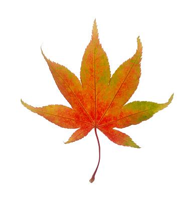 かえでの葉「Beautiful maple leaf in bright autumn color, on white.」:スマホ壁紙(2)