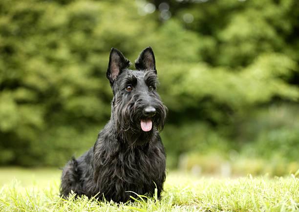 Scottish Terrier:スマホ壁紙(壁紙.com)