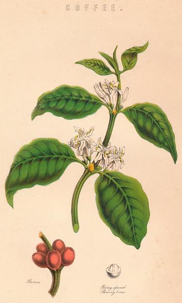 葉・植物「Coffee」:写真・画像(3)[壁紙.com]
