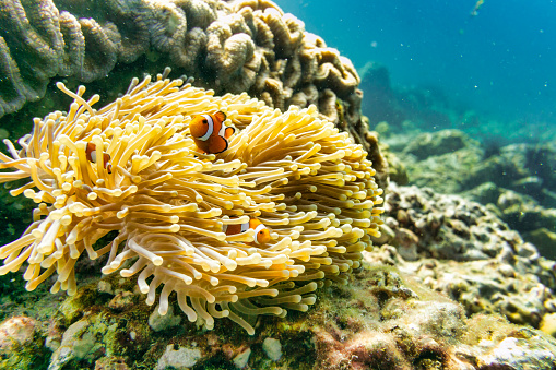 Eco Tourism「Cute Clownfish family in Sea Anemone」:スマホ壁紙(7)