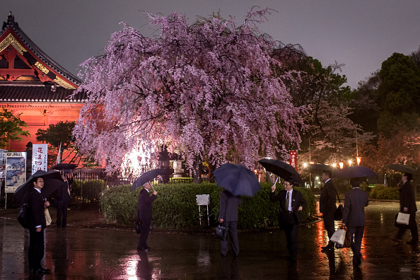 Cherry Blossom「Japan's Flower Viewing Tradition」:写真・画像(1)[壁紙.com]