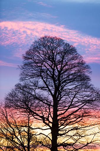 セイヨウカジカエデ「A bare tree on the slopes of Wansfell at sunset near Ambleside, Lake District, UK.」:スマホ壁紙(12)