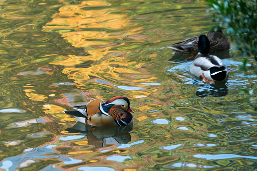 Beak「A Rare Mandarin Duck appears and swims at the Central Park Pond New York NY USA on Nov. 01 2018.」:スマホ壁紙(17)