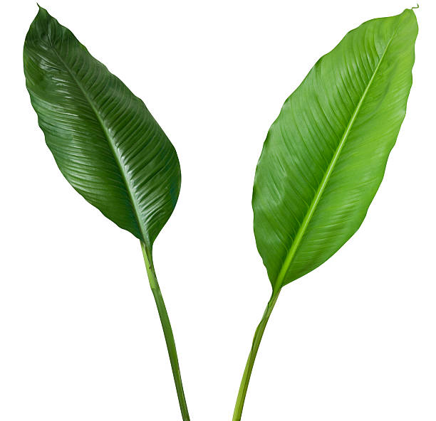 Two tropical plants isolated on white with clipping path:スマホ壁紙(壁紙.com)