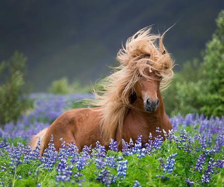 Horse「Horse running by lupines」:スマホ壁紙(19)