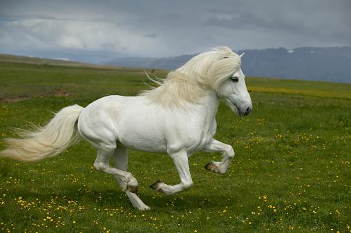 Horse「White Icelandic Stallion Running in Meadow」:スマホ壁紙(15)