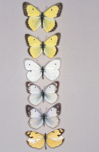 Specimen Holder「Row of butterflies」:スマホ壁紙(0)
