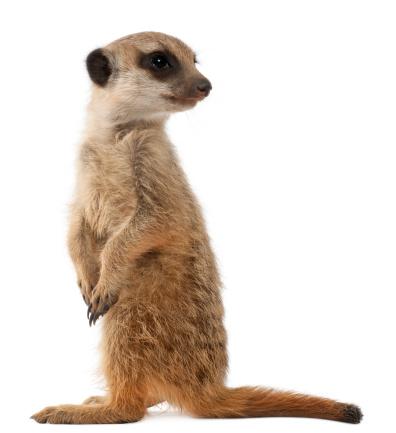 Belgium「Meerkat or Suricate - Suricata suricatta」:スマホ壁紙(3)
