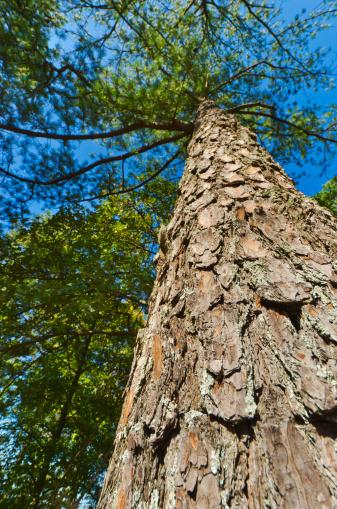 Stone Mountain - Georgia「USA, Georgia, Stone Mountain, Low angle view of pine tree in forest」:スマホ壁紙(11)