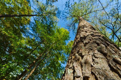 Stone Mountain - Georgia「USA, Georgia, Stone Mountain, Low angle view of pine tree in forest」:スマホ壁紙(5)