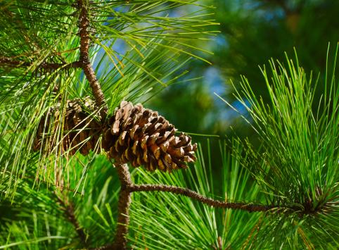 Stone Mountain - Georgia「USA, Georgia, Stone Mountain, Close-up of pine cone」:スマホ壁紙(8)
