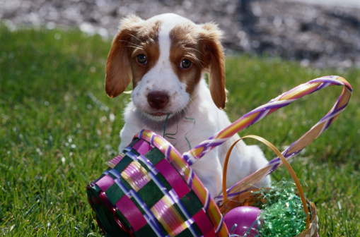 Easter Basket「Puppy and Easter Basket」:スマホ壁紙(15)