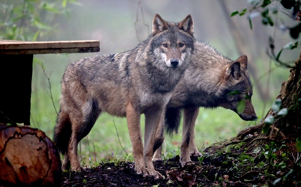 Animal「Wild Place Project Welcomes A Pack Of Wolves」:写真・画像(19)[壁紙.com]