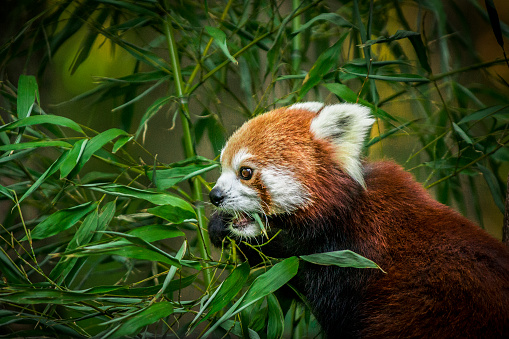 パンダ「Red panda eating bamboo leaves」:スマホ壁紙(2)