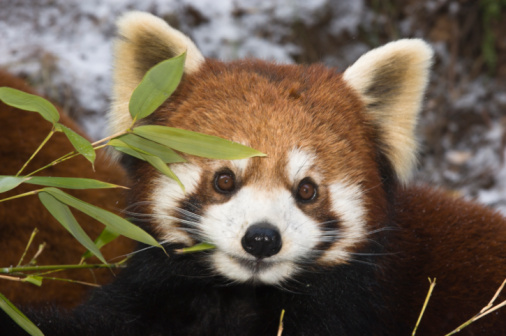 パンダ「Red panda eating bamboo, Wolong, China」:スマホ壁紙(9)