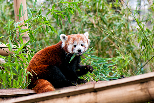 Himalayas「Red panda eating」:スマホ壁紙(9)
