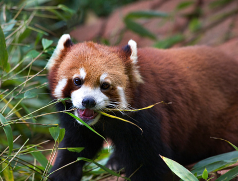パンダ「Red Panda (Ailurus fulgens), eating bamoo in Panda Breeding Center ,Chengdu, Sichuan, China」:スマホ壁紙(5)