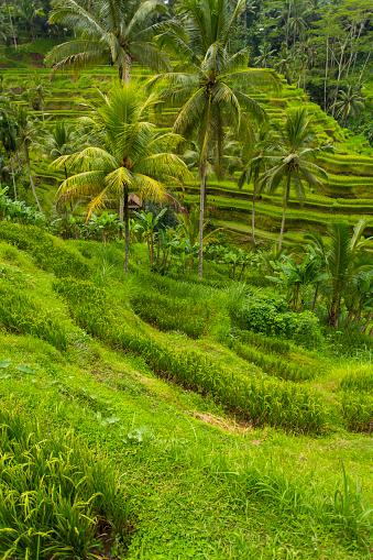 Ubud District「Balinese Rice Paddy Terraces」:スマホ壁紙(16)