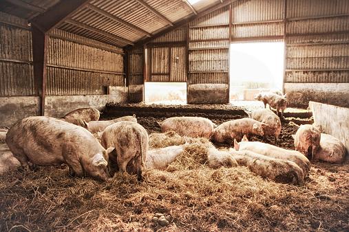 Pigpen「Female pigs on eco farm.」:スマホ壁紙(12)