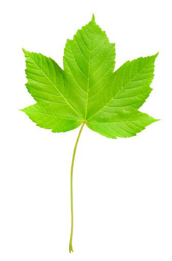 紅葉「Spring maple leaf」:スマホ壁紙(18)