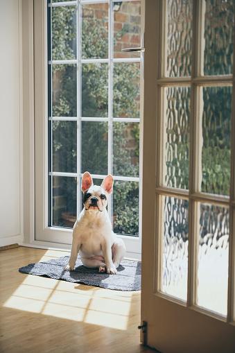 Waiting「4 months old French Bulldog sunbathing by the door」:スマホ壁紙(13)