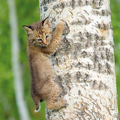 Kitten「Bobcat Kit Climbing Tree」:スマホ壁紙(9)