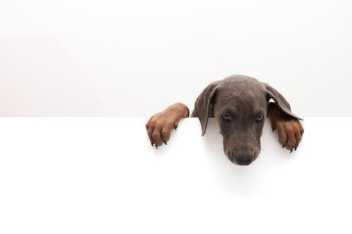 Pets「little doberman」:スマホ壁紙(12)