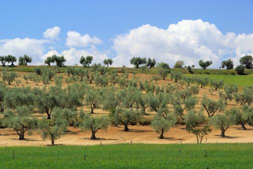 スペイン「olive grove」:スマホ壁紙(8)