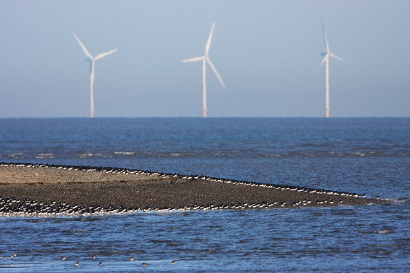 Environmental Conservation「Oystercatchers (Haematopus ostralegus) wader roost and offshore wind turbines. RSPB nature reserve, Point of Air, Dee estuary, Wales UK」:写真・画像(11)[壁紙.com]