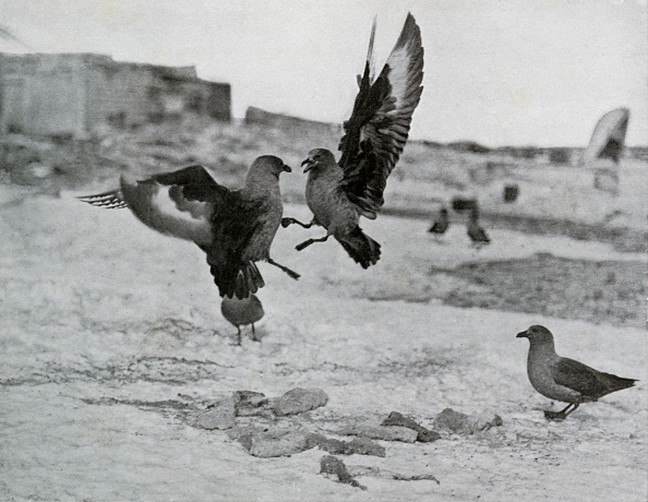 Ski Pole「Skua Gulls Fighting Over Some Blubber」:写真・画像(8)[壁紙.com]
