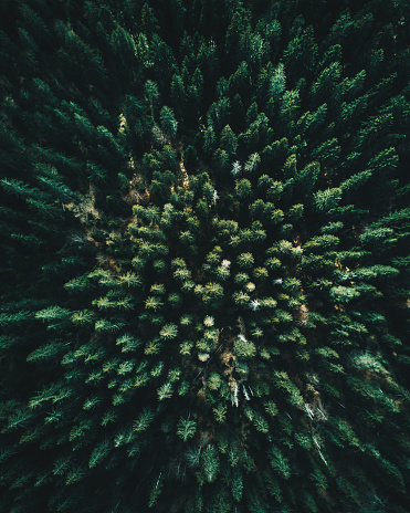 Pine Woodland「Forest of tree pines aerial view」:スマホ壁紙(0)