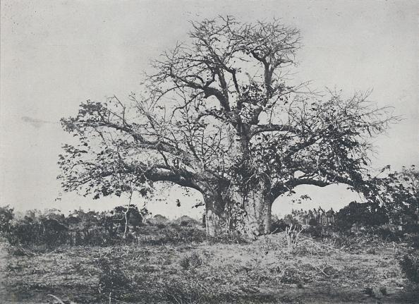 Tropical Tree「Baobab-Tree」:写真・画像(18)[壁紙.com]