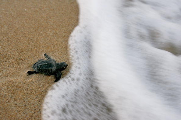 Green Turtle「Israeli Ecologists Struggle To Protect Mediterranean?s Turtles」:写真・画像(0)[壁紙.com]