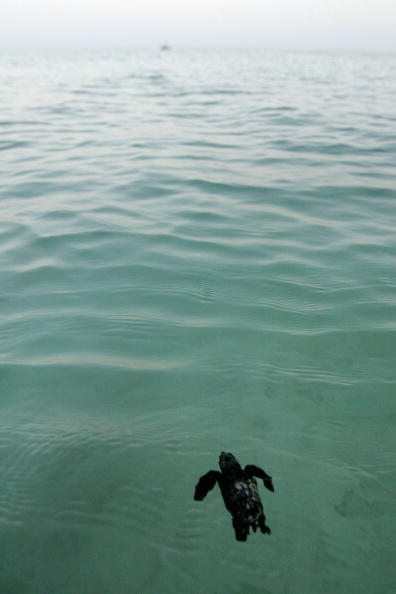 Green Turtle「Israeli Ecologists Struggle To Protect Mediterranean?s Turtles」:写真・画像(6)[壁紙.com]