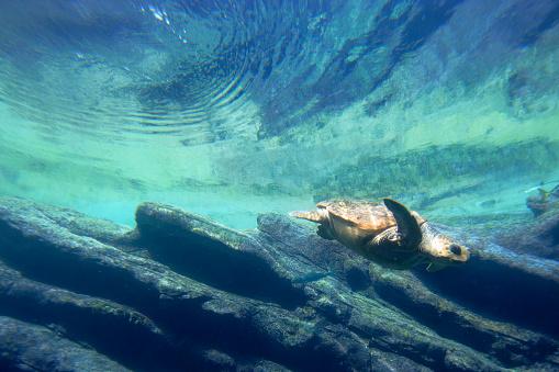 Shallow「Loggerhead Sea Turtle (Caretta caretta) diving, Ushaka Marine World, Durban, South Africa」:スマホ壁紙(18)