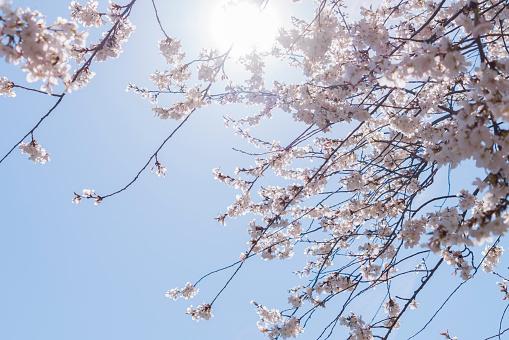 花「Sunshine illuminates the Cherry blossoms in clear sky at Central Park New York」:スマホ壁紙(17)